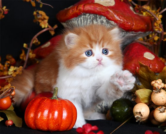 Red & White Persian Kitten
