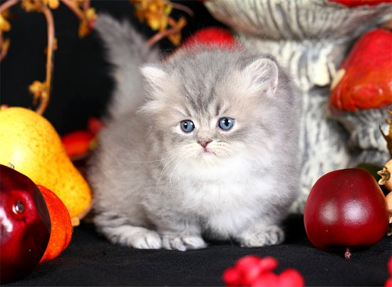 Doll Face Persian Kittens Minuet Kitten - Rug Hugger Persian Kitten