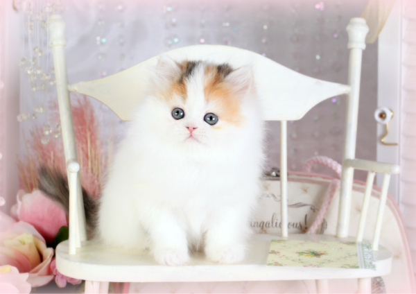 High-White Calico Persian kitten