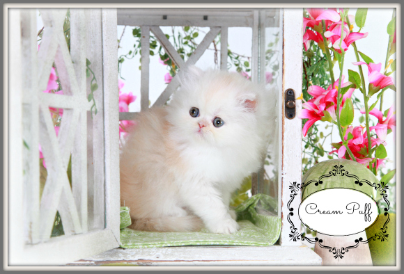 Strawberry Blonde Toy Persian Kitten