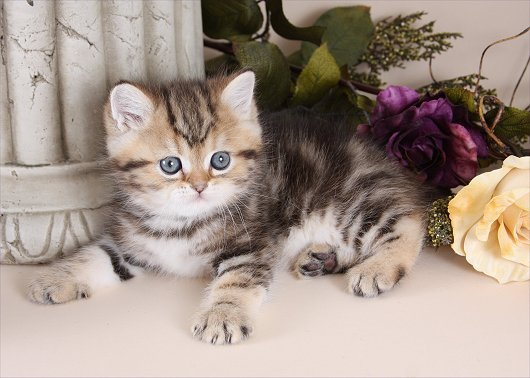 Exotic Short Hair Persian Kitten - Doll Face Persian Kittens