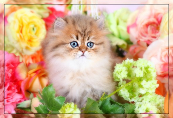 Persian Kittens for Sale - Himalayan Kittens for Sale - Teacup Persians
