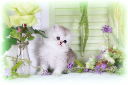 Shaded Silver Teacup Persian Kitten
