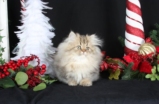 Doll Face Persian Kittens - Shaded Golden Persian Kitten