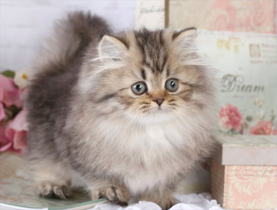 Doll Face Persian Kittens Minuet Kitten