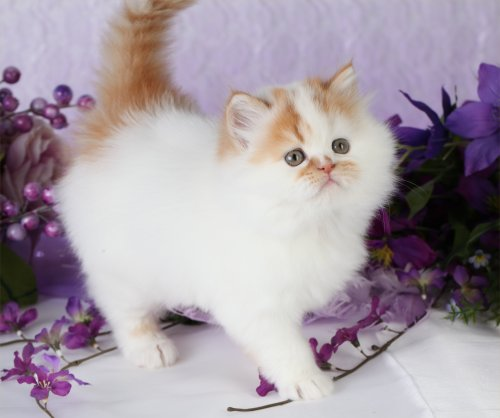 Red & White Patchwork Teacup Persian Kitten
