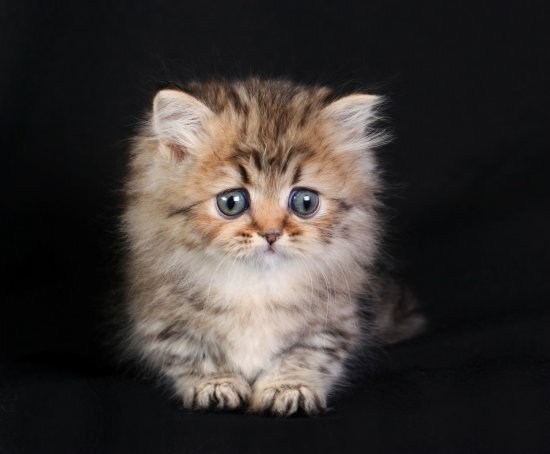 Tiny Teacup Rug Hugger Persian Kitten