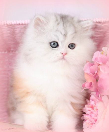 Super Cute Persian Kittens baby doll face for Sale in Dona ... |Baby Doll Face Kittens
