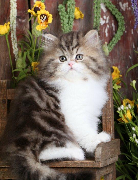 Shaded Golden Tabby & White Persian Kitten For Sale ... Tabby Persian
