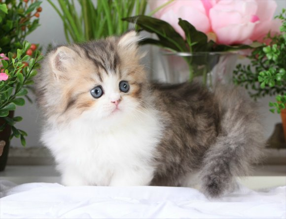 High Quality Shaded Golden Teacup Persian Rug Hugger Kitten   Romeo