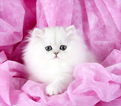 Teacup Persian Kitten from Doll Face Persian Kittens