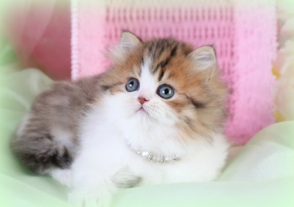 Teacup Persian Cats, Teacup Persian Kittens, miniature Cats, miniature  kittens for sale, Munchkin cats, Munchkin Persian Kittens, Teacup Cat  BreedersSuperior Quality Persian & Himalayan Kittens For Sale in a rainbow  of colors!