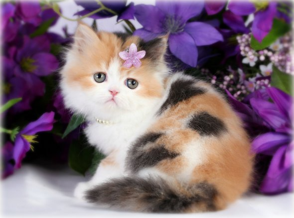 Calico Persian Kitten For Sale, Cover Girl, Doll Face Persian Kittens ... White Teacup Persian Kitten
