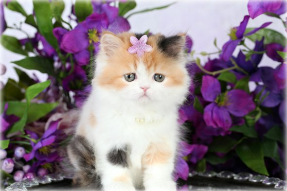 ... cats for saleUltra Rare Persian Kittens For Sale – (660) 292-2222