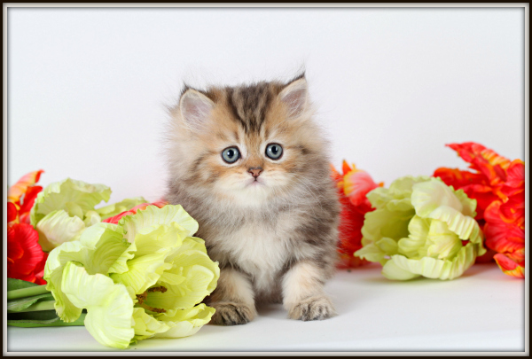 Fluffy Teacup Kittens Size: tiny teacup Fluffy Teacup Kittens