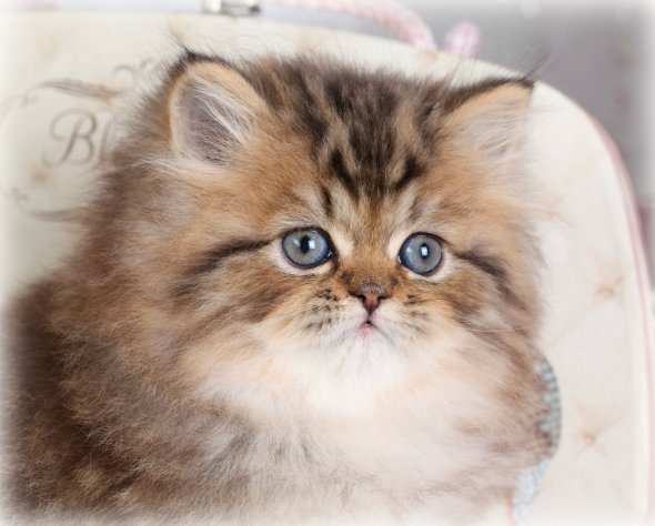 Persian cat doll face price