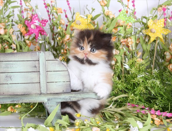 Classic Calico Teacup Persian Kitten