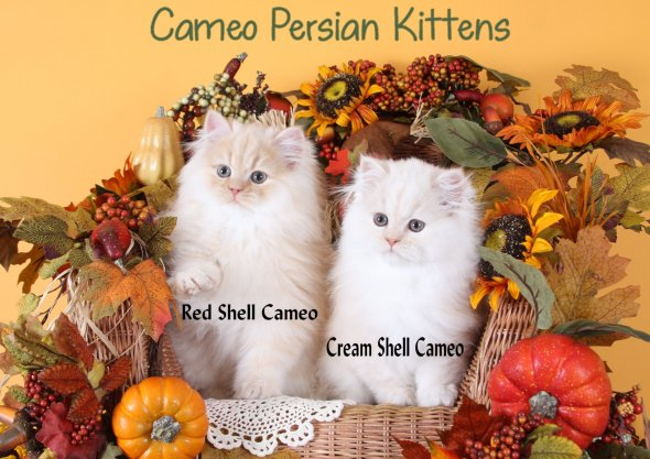 Red Shell Cameo & Cream Shell Cameo Persian Kittens