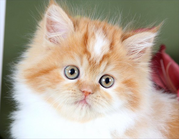 Red & White Tteacup Persian Kitten