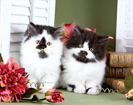 Black and White Bicolor Kittens