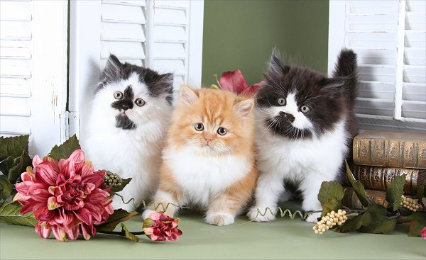 Various Teacup Persian Kitten Coat Colors and Patterns