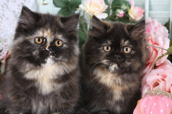 Tortoiseshell Persian Kittens