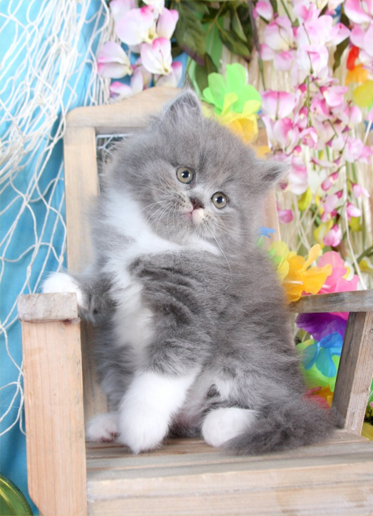 Blue And White Bicolor Persian Kittens Gray And White