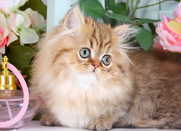 Chinchilla Golden Teacup Rug Hugger Persian Kitten