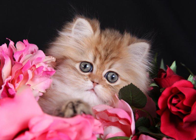 Chinchilla Golden Teacup Kitten