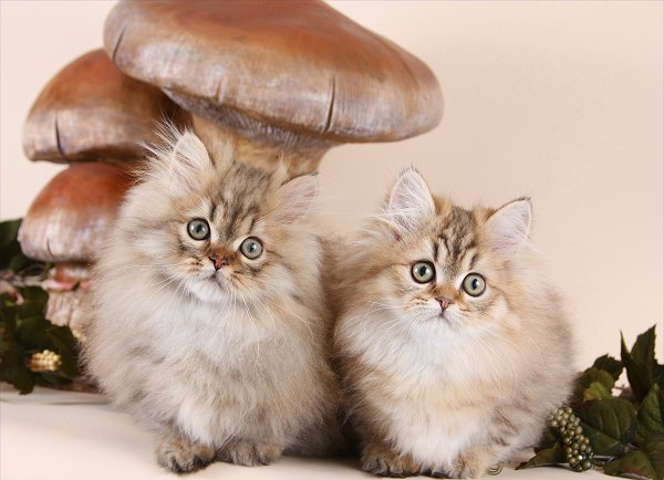 Chinchilla Golden Teacup Rug Hugger Persian Kittens