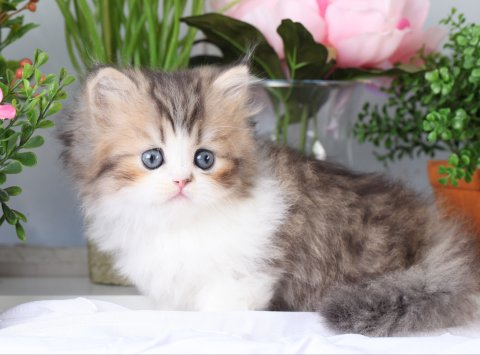 Shaded Golden & White Teacup Rug Hugger Kitten