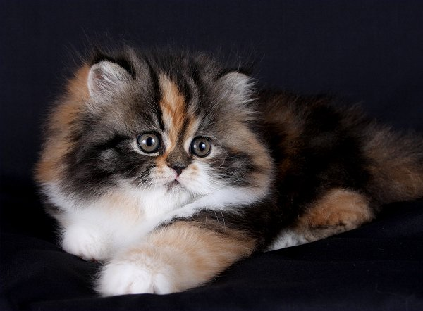 Tabby Calico Teacup Persian Kitten
