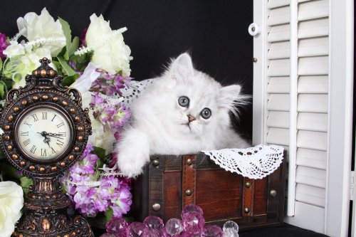 Chinchilla Silver Teacup Persian Kitten