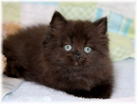 black persian kittensultra rare persian kittens for sale 660 292