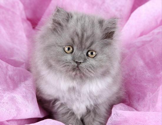 Blue Smoke Teacup Persian Kitten