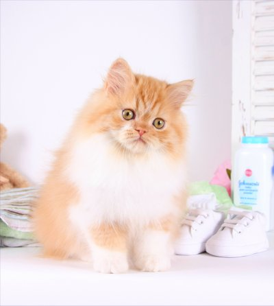 Red & White Teacup Persian Kitten