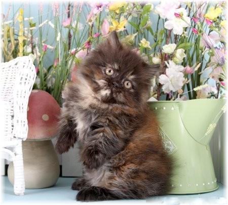 Tortoiseshell Rug Hugger Persian Kitten