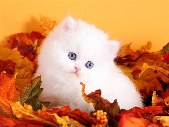 White Persian Kittens | White Persian Cats | Pure White