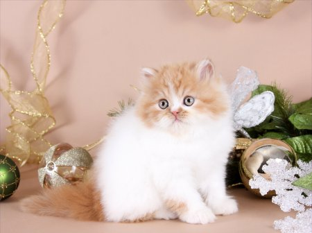 Red & White Patchwork Persian Kitten