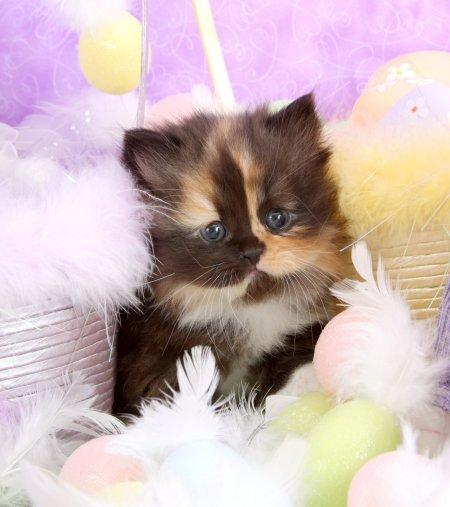 Calico Persian Kittens
