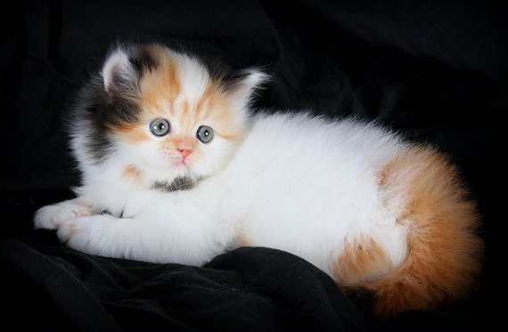 Teacup Calico Persian Kitten