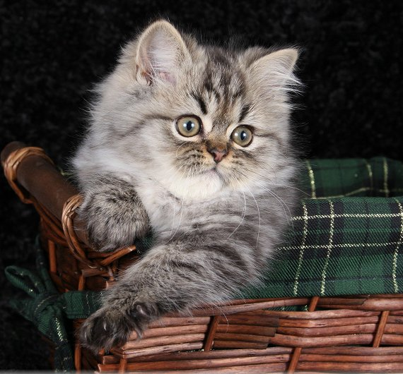 Shaded Golden Teacup Persian Kitten
