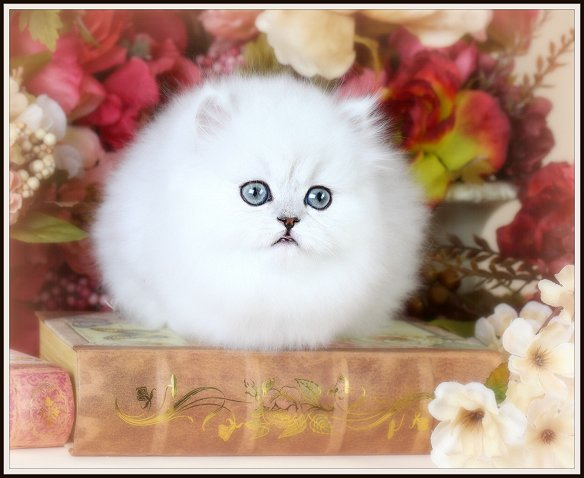Silver Chinchilla Teacup Persian