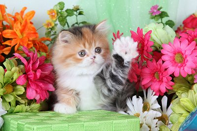 Calico Persian Kitten - Persian Kittens For Sale