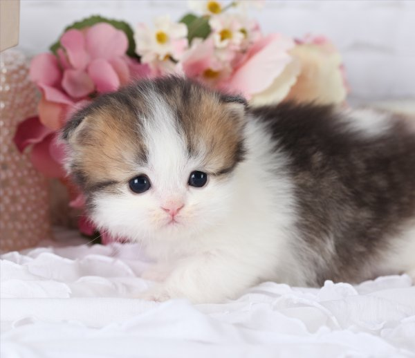 Shaded Golden & White Teacup Persian Kitten ~ Ultra Rare ...