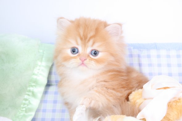Red Persian Kittens