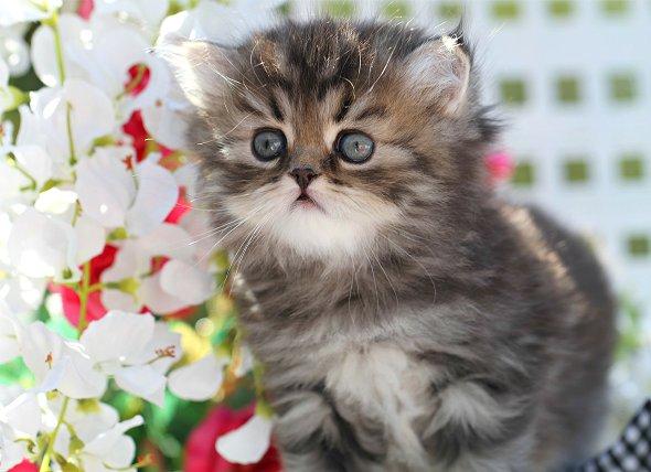 Tabby Persian Kittens - Tabby Persian Cats | Tabby ... Tabby Persian