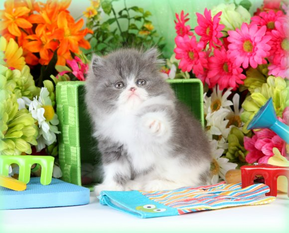 Blue White Persian Kittens