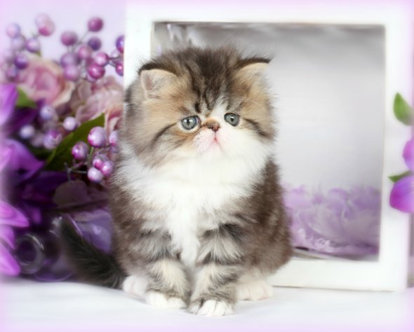 Shaded Golden & White Bicolor Teacup Persian Kitten