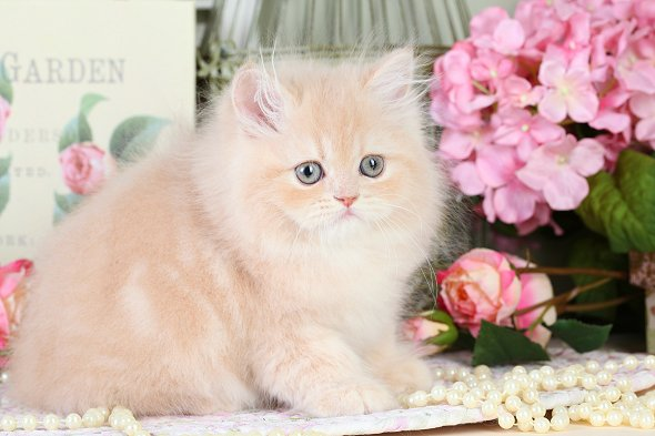 Cream Teacup Persian Kitten